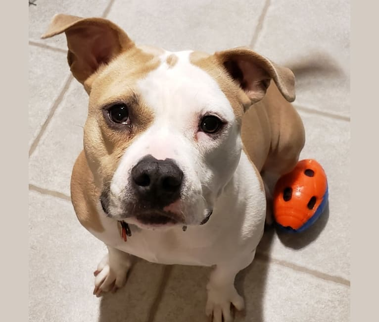 Photo of Peaches, an American Staffordshire Terrier  in South Elgin, Illinois, USA
