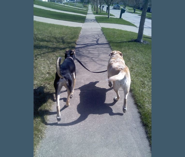 Photo of Gander, an American Pit Bull Terrier, Chow Chow, and Mixed mix in Akron, Ohio, USA