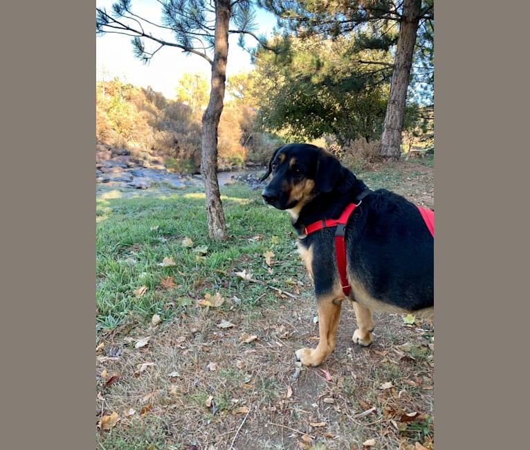 Photo of Oliver, a German Shepherd Dog, Basset Hound, and Boxer mix in Denver, Colorado, USA