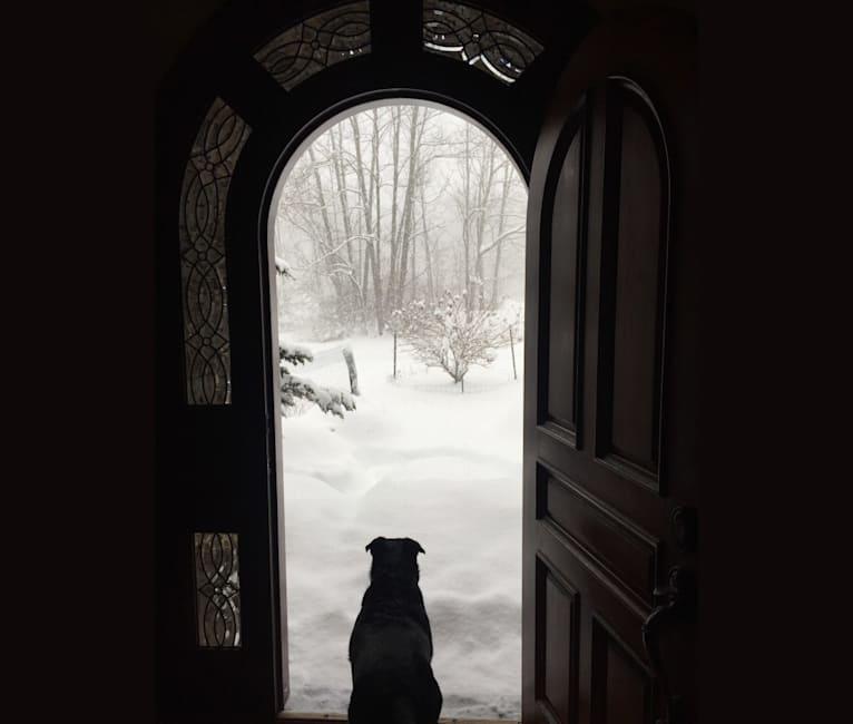 Photo of BELLA, an Australian Cattle Dog, Rottweiler, and Labrador Retriever mix in Pottsville, Pennsylvania, USA
