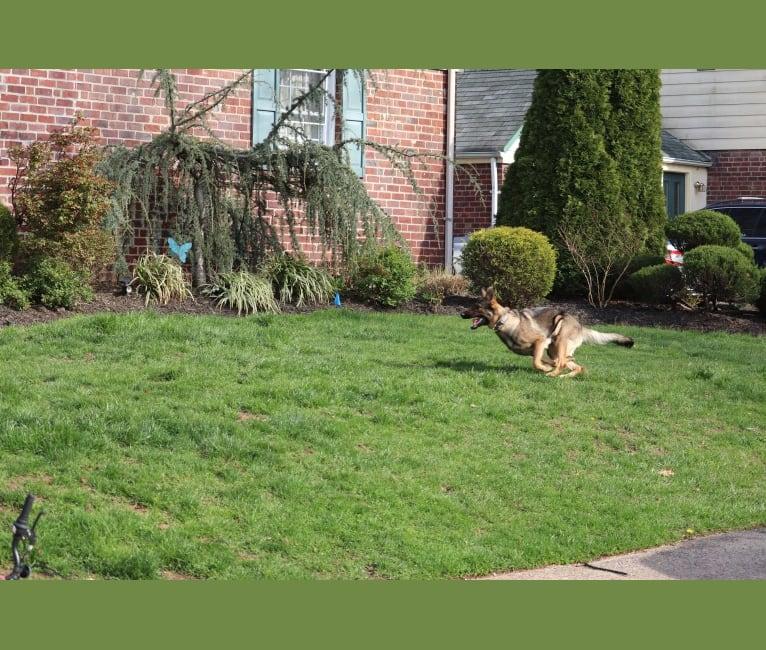 Photo of Bonnie, a German Shepherd Dog  in Pennsylvania, USA
