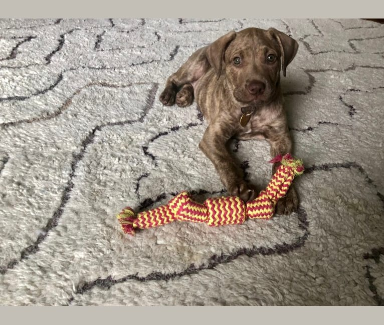 Photo of Pepper, an American Pit Bull Terrier, Labrador Retriever, and Australian Cattle Dog mix in Dallas, Texas, USA