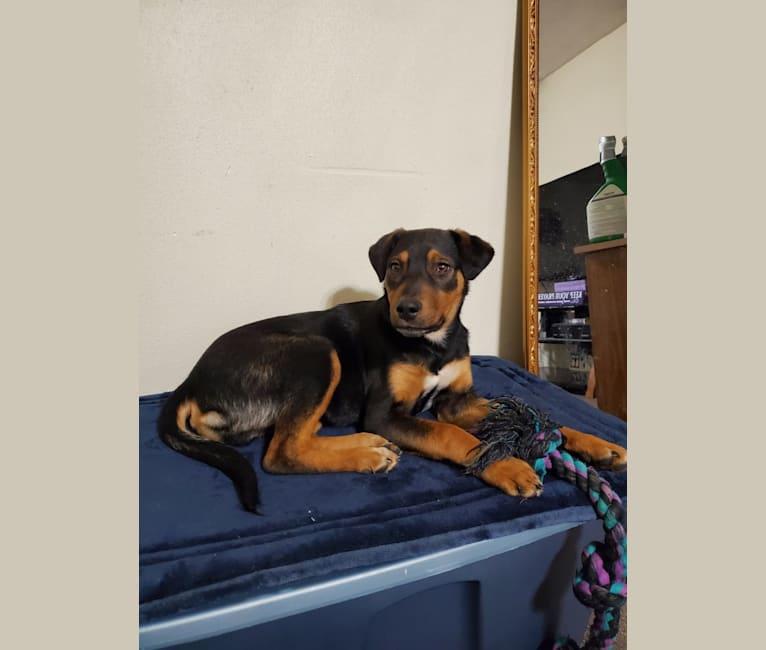 Photo of Jackson, a Doberman Pinscher, Australian Cattle Dog, German Shepherd Dog, and Chinese Shar-Pei mix in Texas, USA
