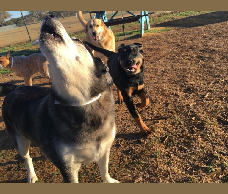 Photo of Nori, a Rottweiler, Great Pyrenees, and Labrador Retriever mix in Austin, Texas, USA
