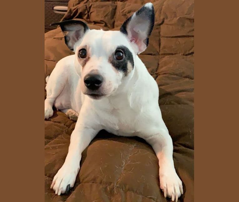 Photo of Oero, a Russell-type Terrier  in Illinois, USA