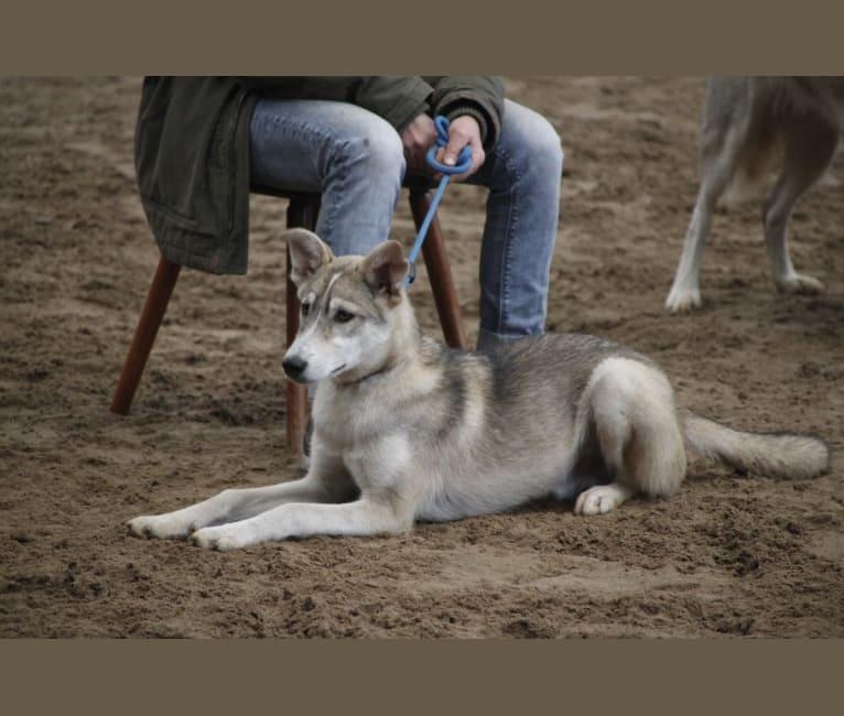 Photo of Zev, an Alaskan-type Husky, Siberian Husky, and Coyote mix in Ibbenbüren, Germany