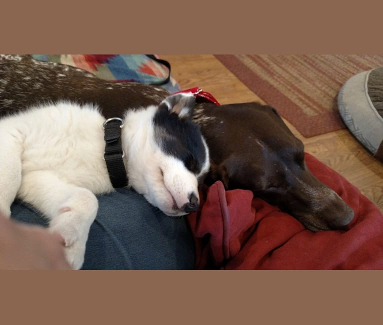 Photo of Bear, a German Shepherd Dog, Norwegian Elkhound, and Siberian Husky mix in Ohio, USA