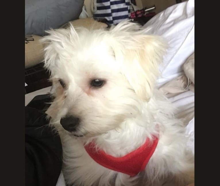 Photo of Popcorn, a Maltese, West Highland White Terrier, and Bichon Frise mix in Dyer, Indiana, USA