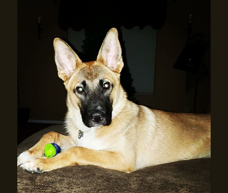 Photo of Chance, a German Shepherd Dog, American Pit Bull Terrier, and Chow Chow mix in Las Vegas, Nevada, USA