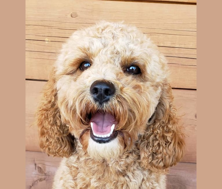 Photo of Chloe, a Poodle (Small), Cocker Spaniel, English Cocker Spaniel, and English Cocker Spaniel (Working Type) mix in Cañon City, Colorado, USA