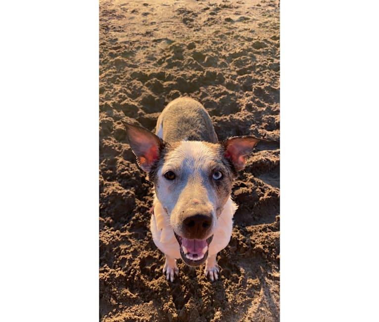 Photo of Buoy, an Australian Shepherd, Shetland Sheepdog, Australian Cattle Dog, and Mixed mix in Portland, Oregon, USA