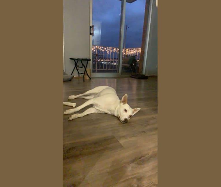 Photo of Bindi, an Australian Cattle Dog  in Tipp City, OH, USA