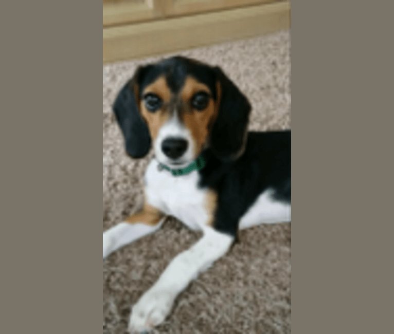 Photo of Charlie, a Beagle  in Kentucky, USA