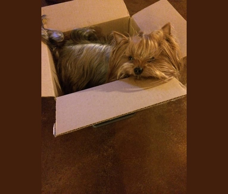 Photo of Mojo, a Yorkshire Terrier  in Tahlequah, OK, USA