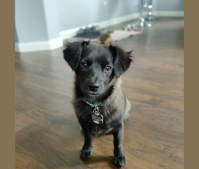 Photo of Bailey, a Poodle (Small), Shih Tzu, Chihuahua, Russell-type Terrier, Pomeranian, and Mixed mix in Sacramento, California, USA