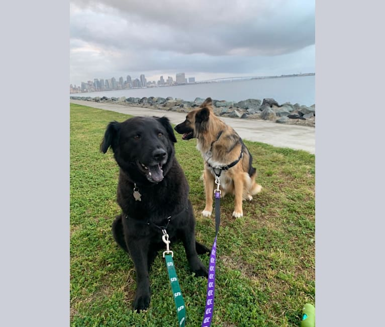 Photo of Dallas, a Chow Chow, German Shepherd Dog, and Rottweiler mix in San Diego, California, USA
