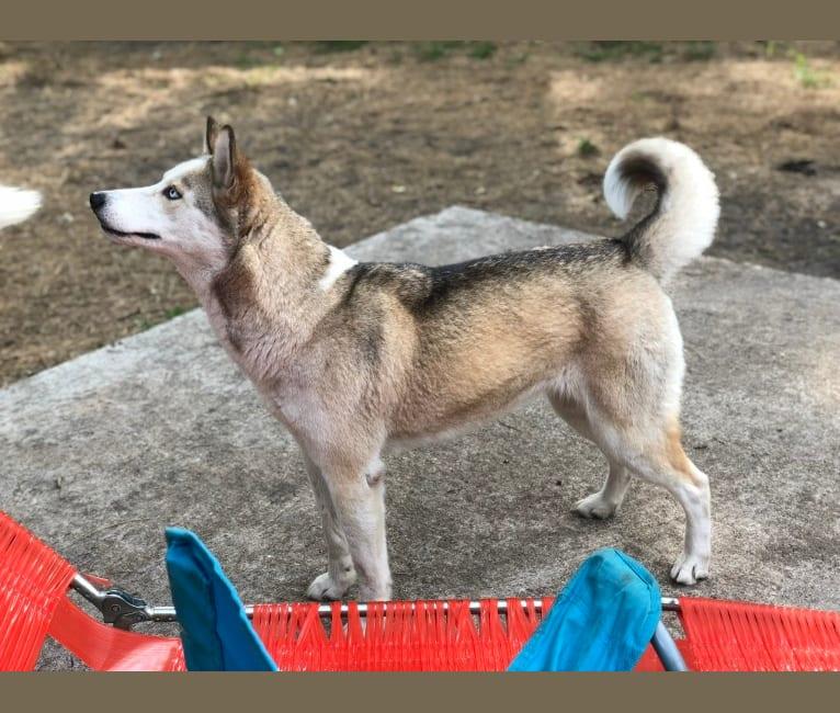 Photo of Alue, a Siberian Husky