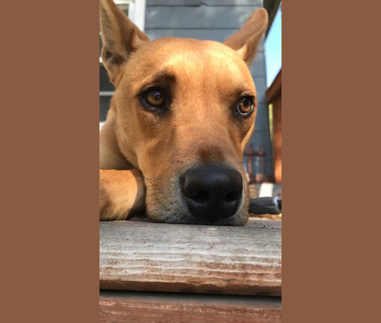 Photo of Langley, an Australian Cattle Dog, Chinese Shar-Pei, Boxer, and Mixed mix in Indiana, USA