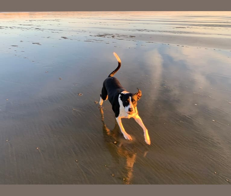 Photo of NicKenzie, an American Pit Bull Terrier, English Shepherd, Boxer, and American Staffordshire Terrier mix in Hays, KS, USA