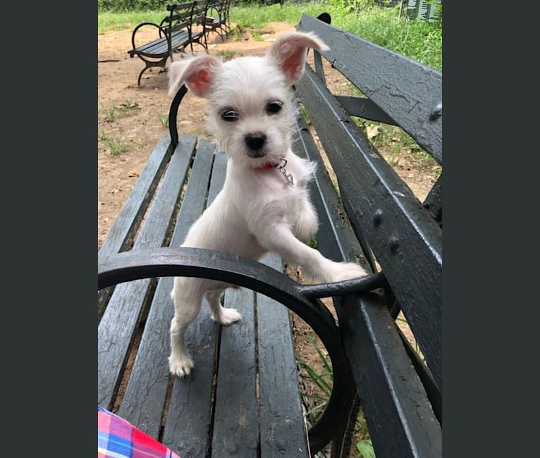Photo of Apollonius, a Shih Tzu, Chihuahua, and Poodle (Small) mix in Texas, USA