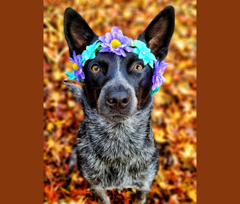 Photo of Juniper, an Australian Cattle Dog  in Athabasca, Alberta, Canada