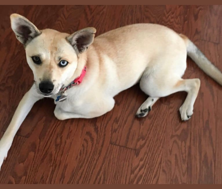 Photo of Aria, a Siberian Husky, Chow Chow, Poodle (Small), and Mixed mix in North Carolina, USA