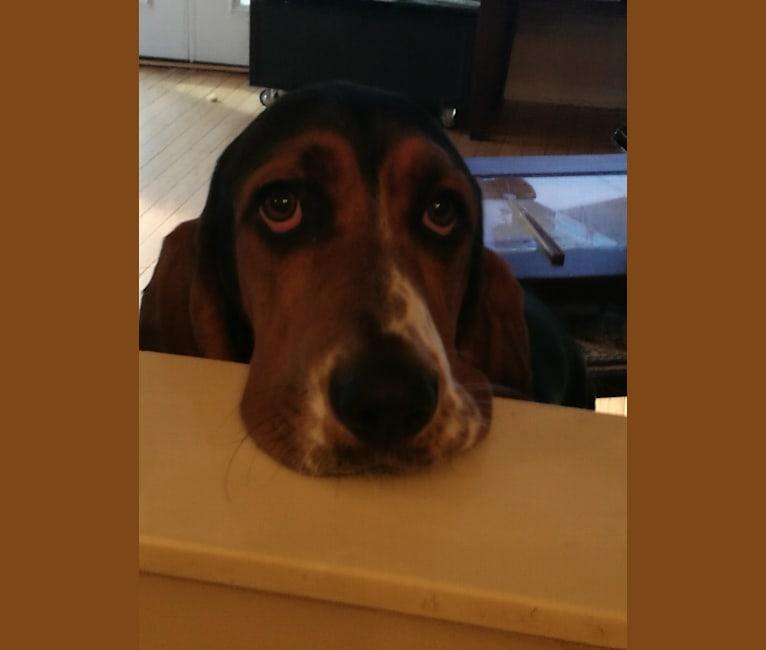 Photo of Daisy May McCutchan (Daisy), a Basset Hound  in Ayden, NC, USA