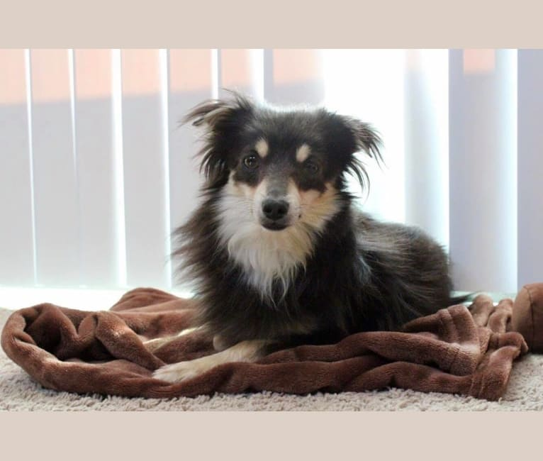 Photo of Teddy, a Chihuahua, Pomeranian, Miniature Pinscher, and Mixed mix in Texas, USA