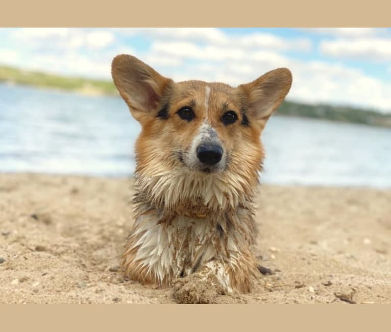 Photo of Fly, a Pembroke Welsh Corgi  in Barrie, Ontario, Canada