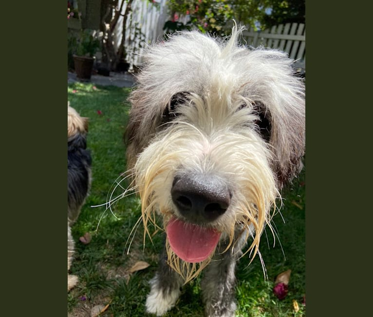 Photo of Lulu, a Saint Bernard and Old English Sheepdog mix in Redondo Beach, California, USA