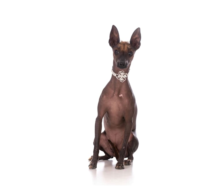 Photo of TESLA, a Xoloitzcuintli  in Jalisco, Mexico