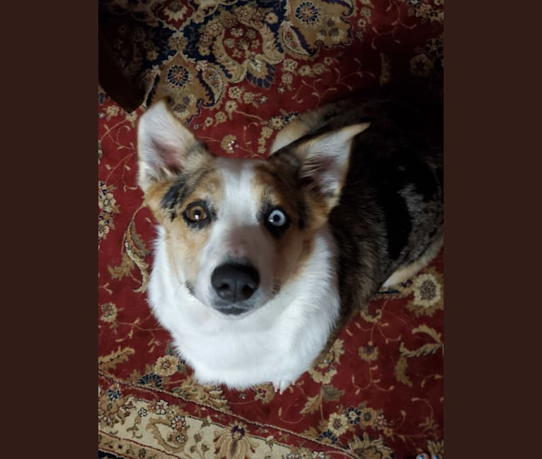 Photo of Ziggy Stardust, a Miniature/MAS-type Australian Shepherd, Pembroke Welsh Corgi, and Australian Cattle Dog mix in Desert Mountain, Scottsdale, AZ, USA