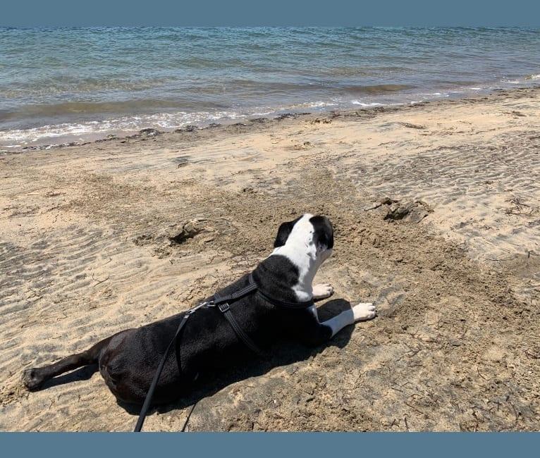 Photo of Meatball, an Olde English Bulldogge  in San Diego, California, USA