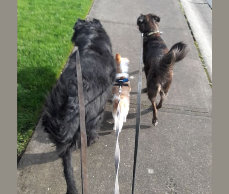 Photo of Noodle, a Miniature Pinscher, Chihuahua, Poodle (Small), and Mixed mix in Port Orchard, Washington, USA