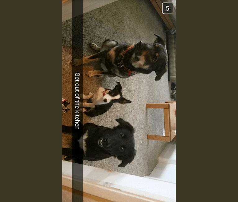 Photo of Django, a Border Collie, Golden Retriever, Australian Cattle Dog, Labrador Retriever, and Mixed mix in Angels Camp, CA, USA