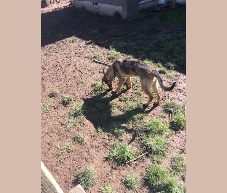 Photo of Tsunami (Sue), a Catahoula Leopard Dog and German Shepherd Dog mix in Lebanon, Oregon, USA