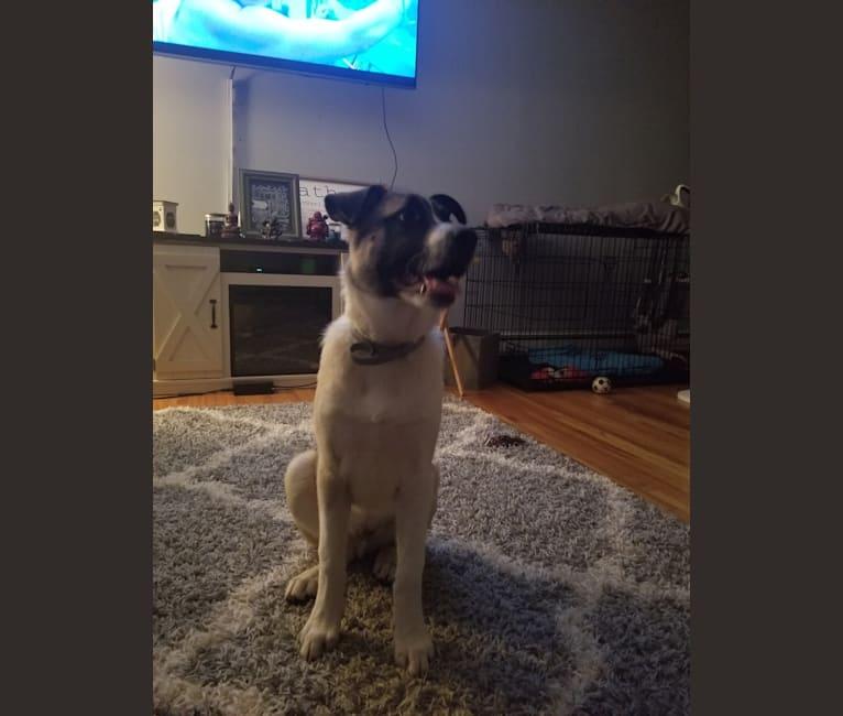 Photo of Bonham, a German Shepherd Dog, Great Pyrenees, Rat Terrier, and Rottweiler mix in Georgia, USA