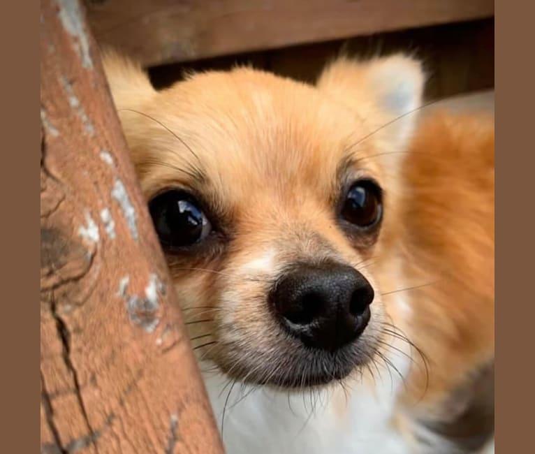 Photo of Briar, a Shih Tzu, Pomeranian, Maltese, and Chihuahua mix in Covington, Washington, USA