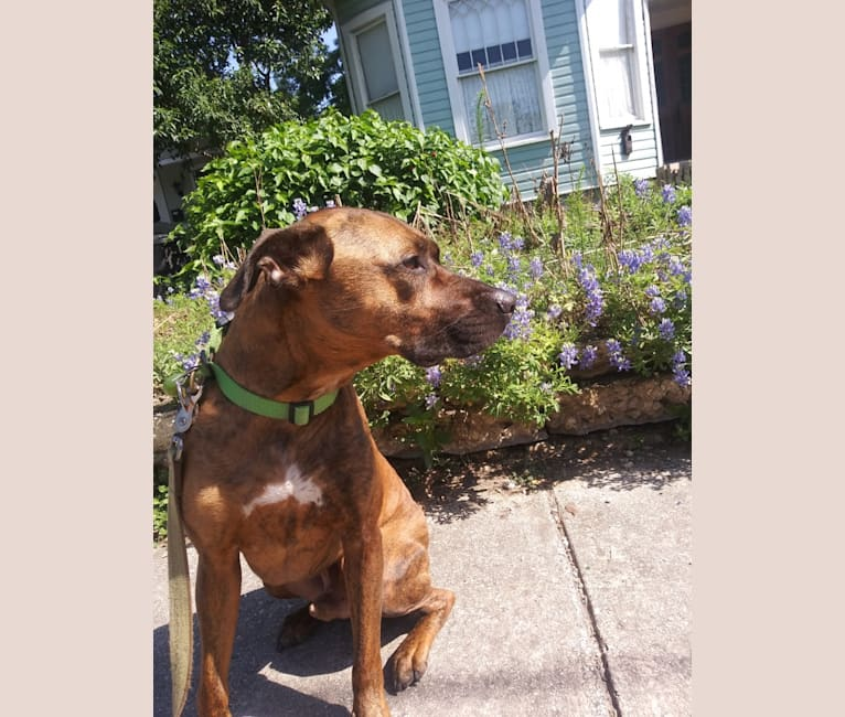 Photo of Che, an American Pit Bull Terrier, Boxer, Rottweiler, and Chihuahua mix in San Antonio, Texas, USA