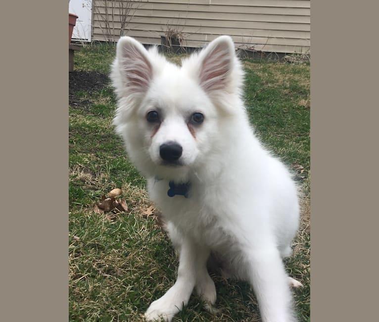 Photo of Koda, an American Eskimo Dog  in Highland Charter Twp, Michigan, USA