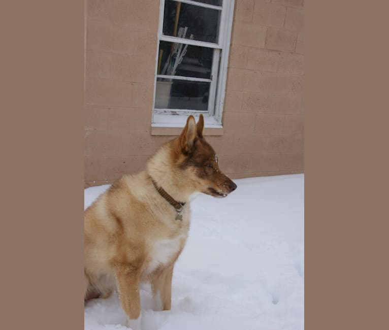 Photo of Duvel, a Siberian Husky, German Shepherd Dog, and Mixed mix in Lansing, Michigan, USA