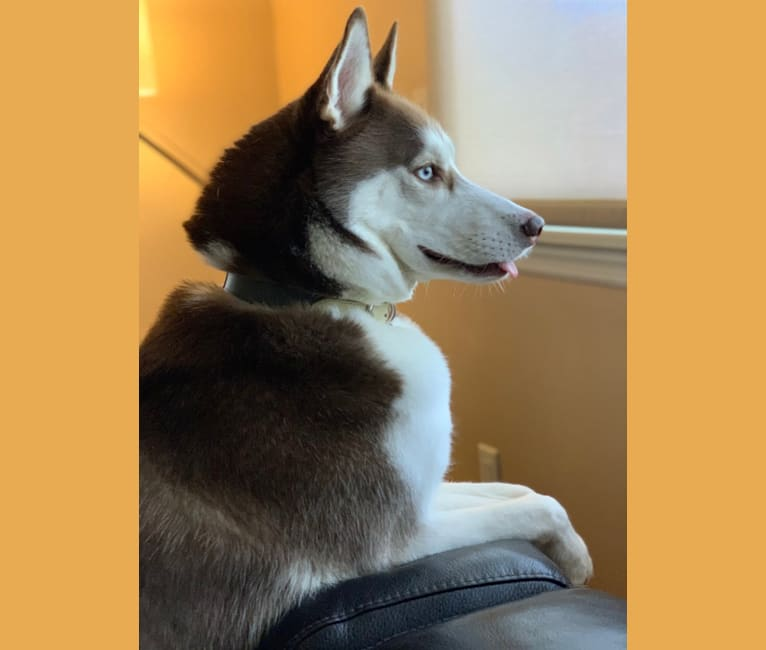 Photo of Kazu, a Siberian Husky  in Pennsylvania, United States