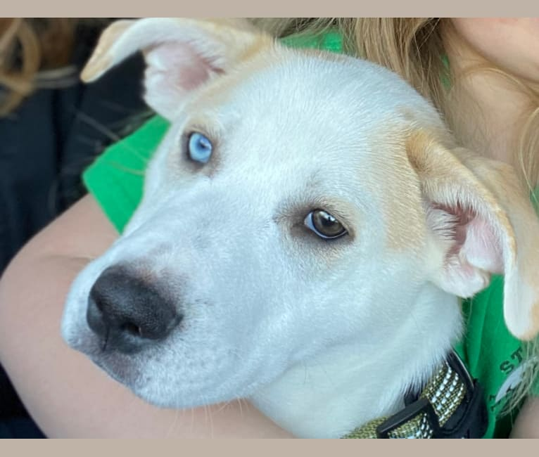 Photo of Jack, a Siberian Husky, Boxer, and Brittany mix in St. Louis, MO, USA
