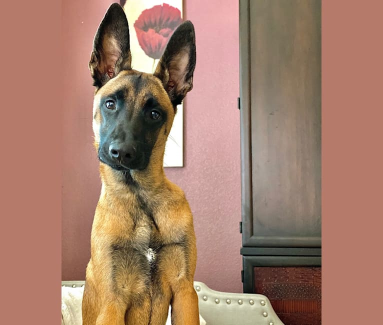 Photo of Max, a Belgian Malinois, Boxer, Bulldog, and Australian Shepherd mix in El Paso, Texas, USA