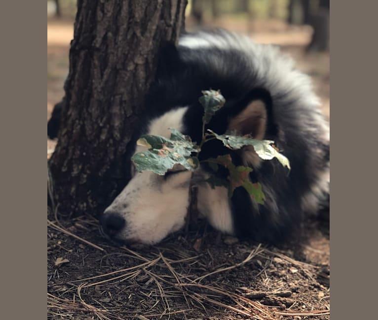 Photo of Jack, a Siberian Husky  in Phoenix, Arizona, USA