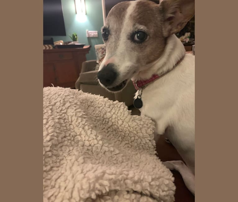 Photo of Cali, a Russell-type Terrier  in Shafter, California, USA