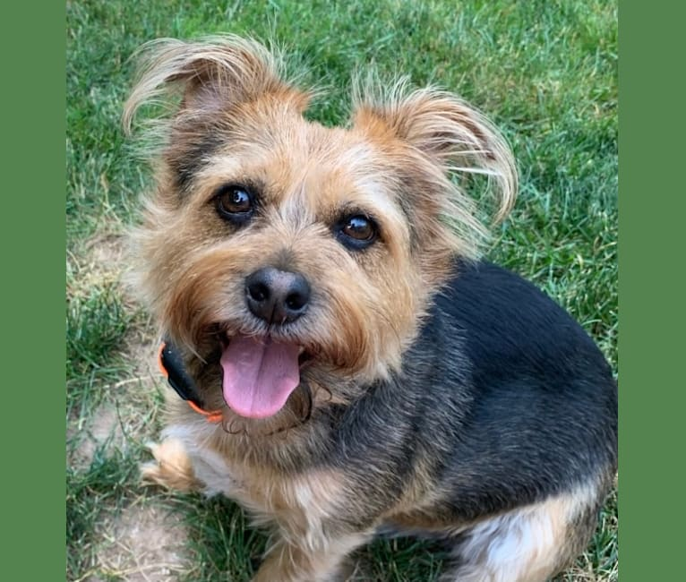 Photo of Charlie, a Yorkshire Terrier, Chihuahua, and Shih Tzu mix in North Haven, Connecticut, USA