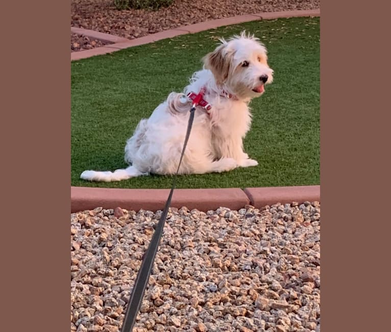 Photo of Tucker, a Poodle (Small), German Shepherd Dog, Cocker Spaniel, and Mixed mix in Phoenix, AZ, USA
