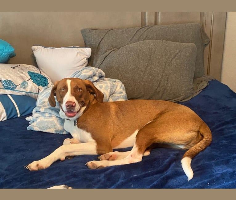 Photo of Dude, a Labrador Retriever, Plott, Boxer, and Catahoula Leopard Dog mix in Belleville, Illinois, USA