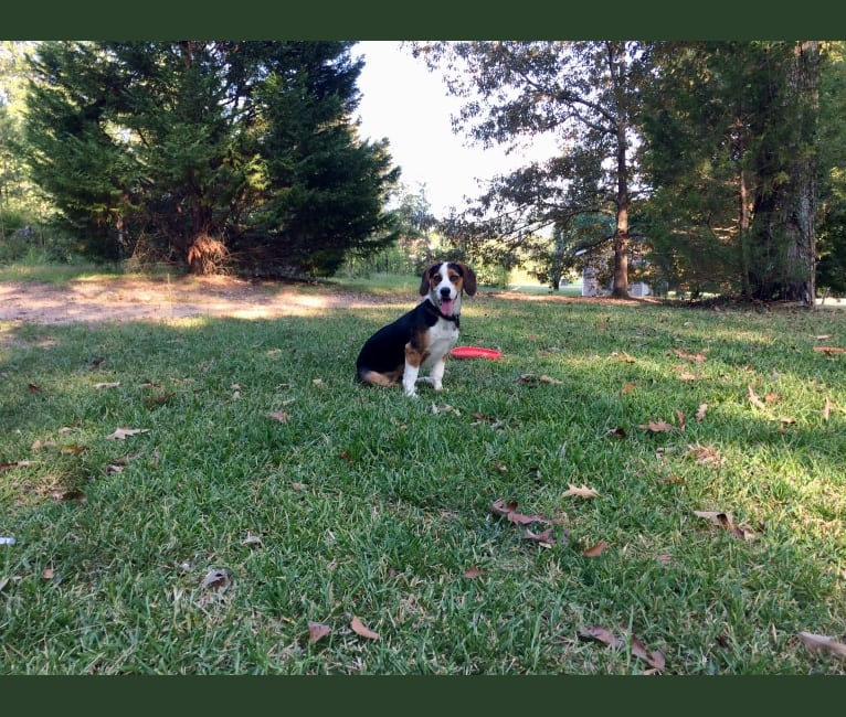 Photo of Chloe, a Basset Hound and Border Collie mix in Riverside, Alabama, USA